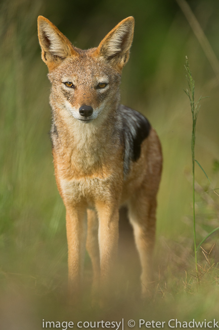 Black Backed Jackal by wildlife and conservation photographer peter chadwick