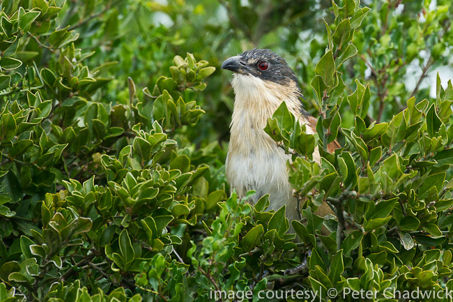 Burchells Coucal by wildlife and conservation photographer peter chadwick