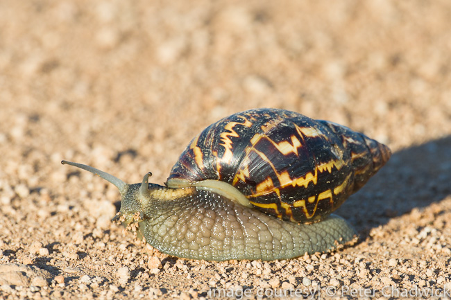 Large land snail by wildlife and conservation photographer peter chadwick