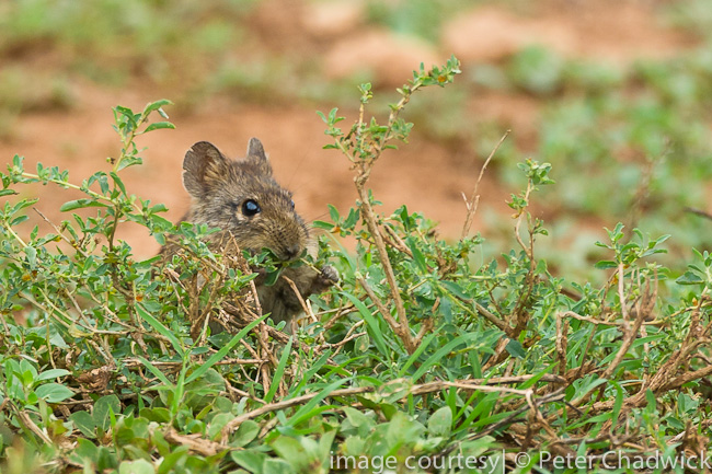 Karoo Bush Rat by wildlife and conservation photographer peter chadwick
