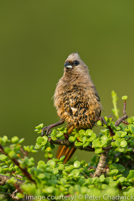 Speckled Mousebird by wildlife and conservation photographer peter chadwick
