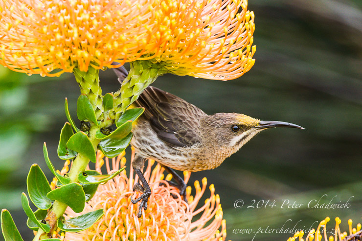 Cape Sugarbird peering through pin-cushions by wildlife and conservation photographer Peter Chadwick