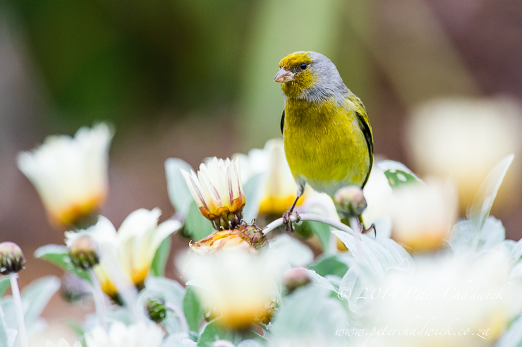 Cape Canary by wildlife and conservation photographer Peter Chadwick