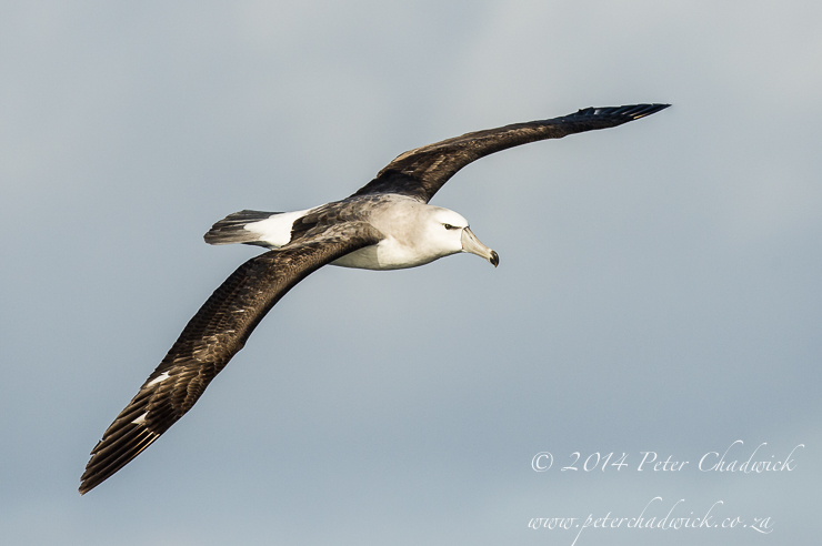 Immature Shy Albatros by wildlife and conservation photographer Peter Chadwick