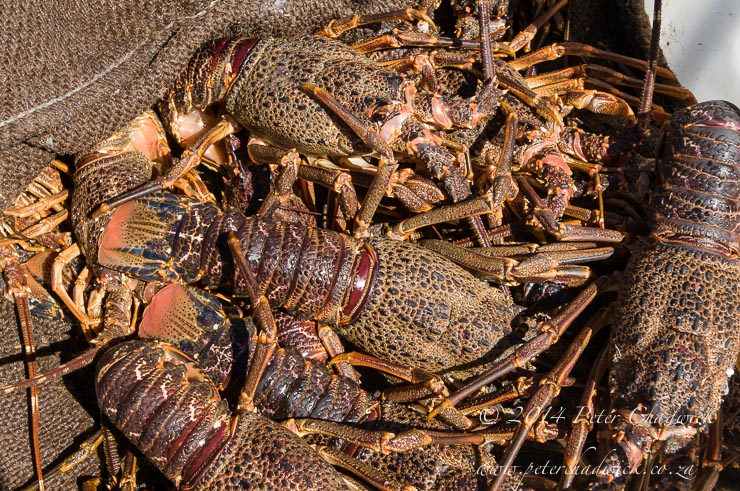 West Coast Rock Lobster catch by wildlife and conservation photographer Peter Chadwick