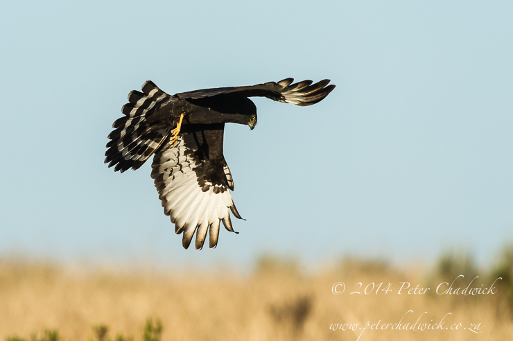 Black Harrier by wildlife and conservation photographer Peter Chadwick