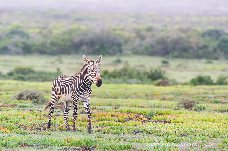 Cape Mountain Zebra_PeterChadwick_AfricanConservationPhotographer