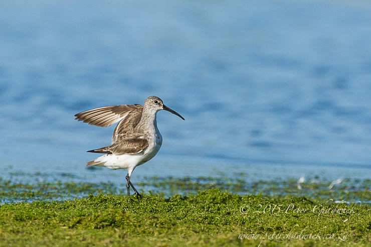 Curlew Sandpiper_PeterChadwick_AfricanConservationPhotographer