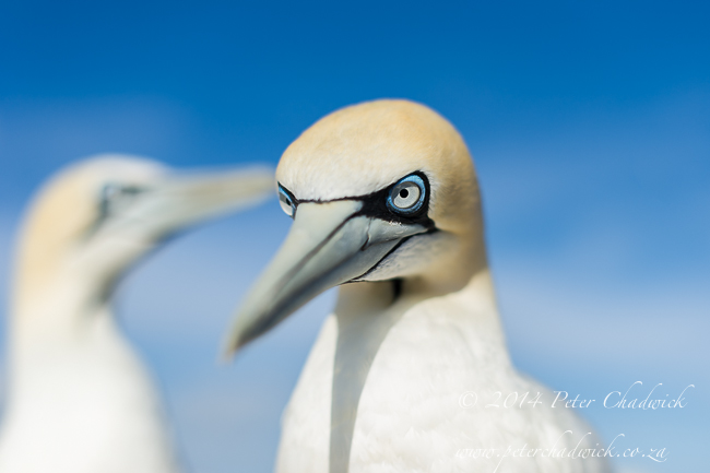 Cape gannet at Malgas Island by wildlife and conservation photographer Peter Chadwick