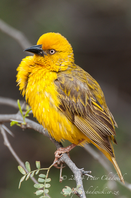 Cape weaver male by wildlife and conservation photographer Peter Chadwick