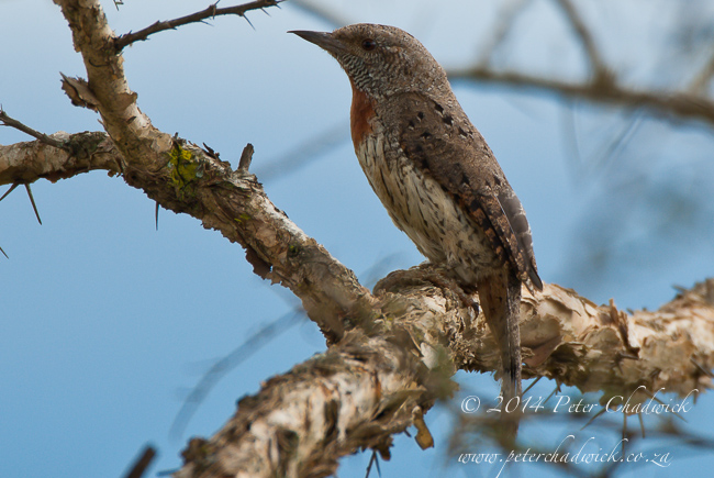 Red-Throated Wryneck by wildlife and conservation photographer Peter Chadwick