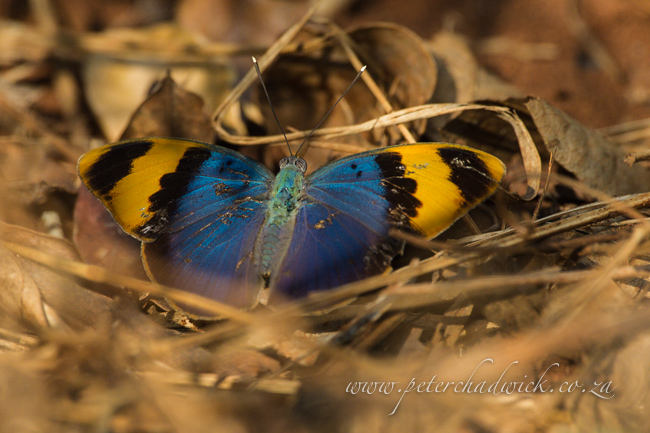 Gold-banded Forester butterfly by wildlife and conservation photographer Peter Chadwick