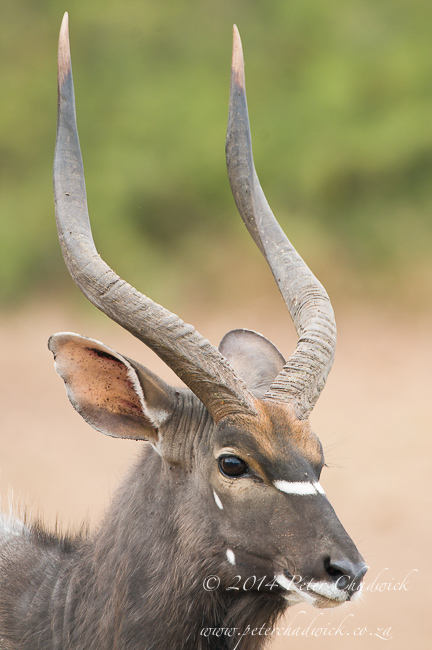 Nyala bull by wildlife and conservation photographer Peter Chadwick