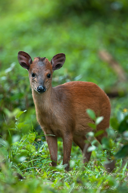 Red Duiker by wildlife and conservation photographer Peter Chadwick