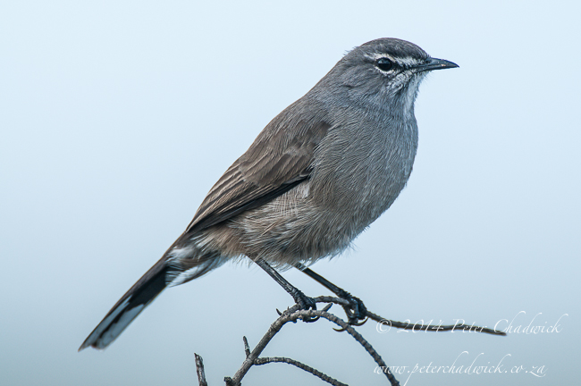Karoo Scrub Robin by wildlife and conservation photographer Peter Chadwick