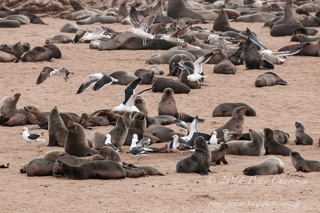 kelp gulls fightig over seal afterbirth by wildlife and conservation photographer Peter Chadwick
