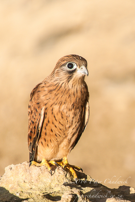 rock kestrel fledgling by wildlife and conservation photographer Peter Chadwick
