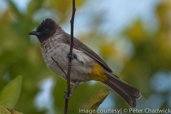 dodsons bulbul by wildlife and conservation photographer peter chadwick