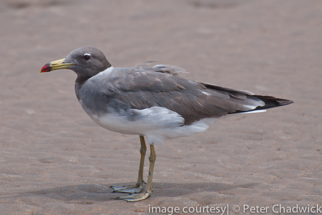 sooty gull by wildlife and conservation photographer peter chadwick