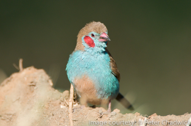 red cheecked cordon bleu by wildlife and conservation photographer peter chadwick