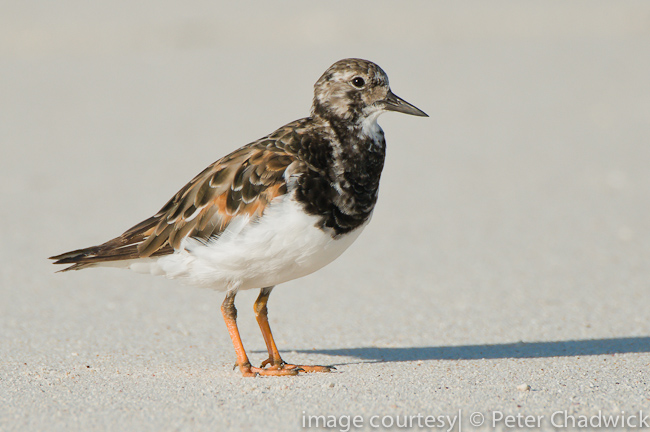 ruddy turnstone by wildlife and conservation photographer peter chadwick