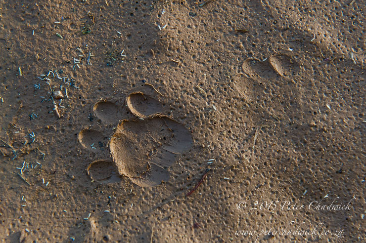 Genet tracks_PeterChadwick_AfricanConservationPhotographer