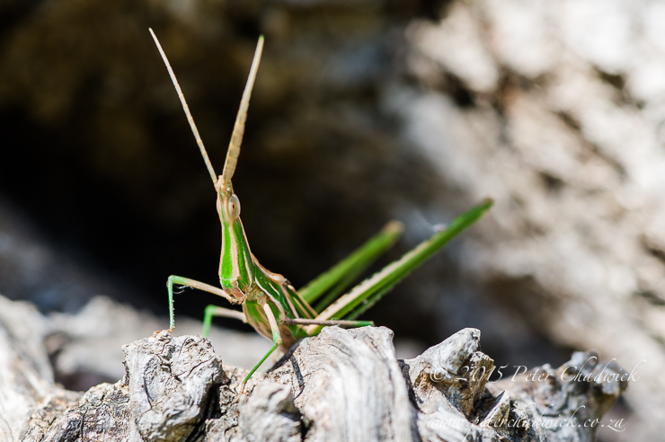 Grasshopper_PeterChadwick_AfricanConservationPhotographer