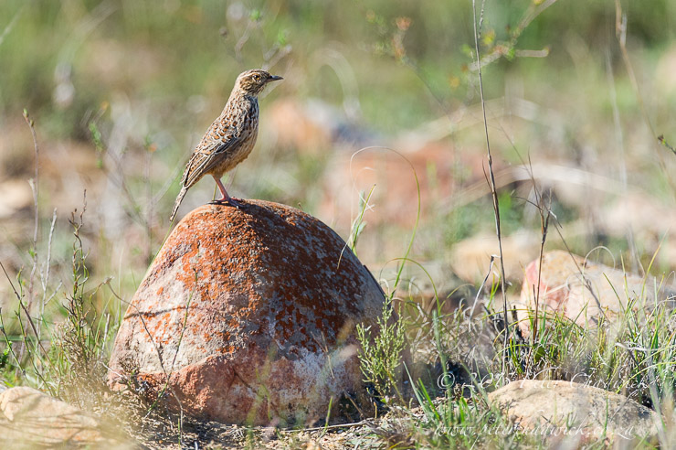 Cape Clapper Lark_PeterChadwick_AfricanConservationPhotographer