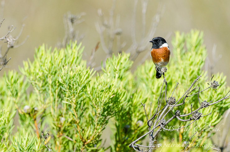 African Stone Chat_PeterChadwick_AfricanConservationPhotographer