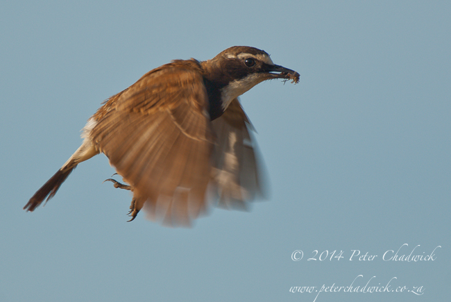 Capped Wheatear in flight by wildlife and conservation photographer Peter Chadwick