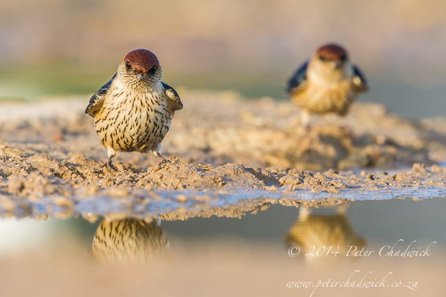 Greater-Striped Swallows by wildlife and conservation photographer Peter Chadwick