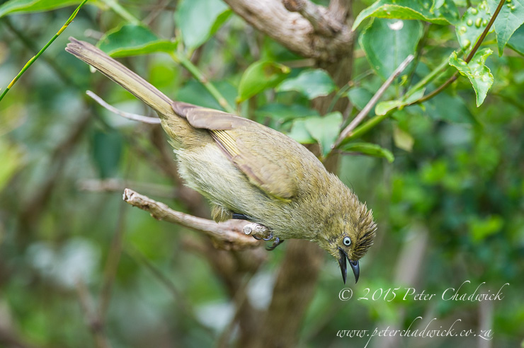 Sombre Greenbul_PeterChadwick_AfricanConservationPhotography