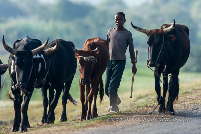 herding the cattle by wildlife and conservation photographer Peter Chadwick