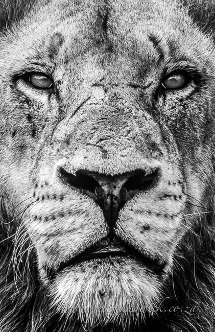 lion by wildlife and conservation photographer Peter Chadwick
