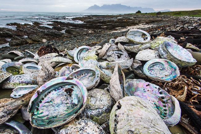 poached abalone shells lying on the shores of robben island by wildlife and conservation photographer Peter Chadwick