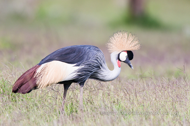 Southern Crowned Crane in grasslands by Wildlife and conservation photographer Peter Chadwick