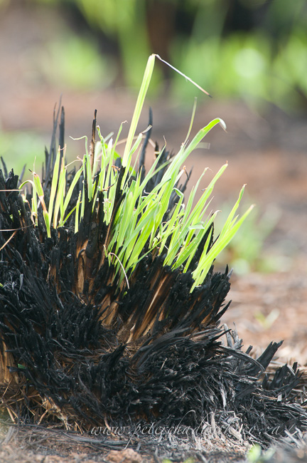 regrowth on burnt grass stubble by Wildlife and conservation photographer Peter Chadwick