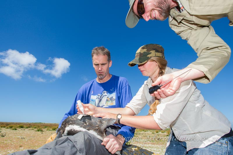 fitting the satelite transmitter to the back of an african penguin by wildlife and conservation photographer Peter Chadwick