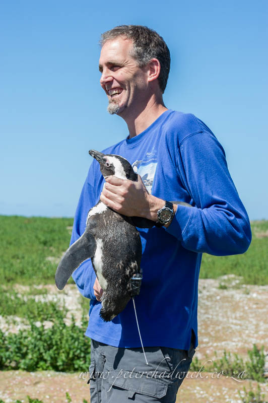 Dr ross waneless with a satelite tagged african penguin by wildlife and conservation photographer Peter Chadwick
