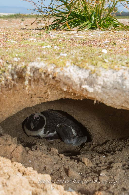 African Penguin in its underground burrow by wildlife and conservation photographer Peter Chadwick
