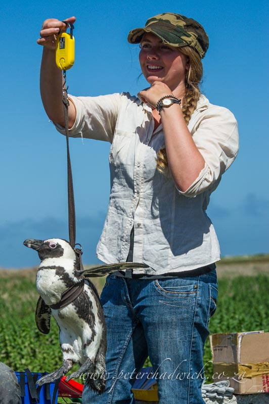 weighing an african penguin by wildlife and conservation photographer Peter Chadwick
