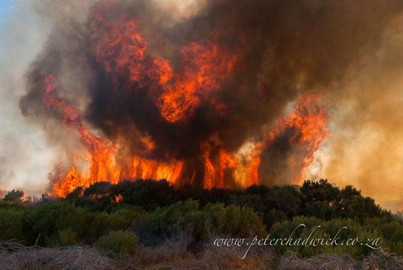 fynbos fire erruption by wildlife and conservation photographer Peter Chadwick
