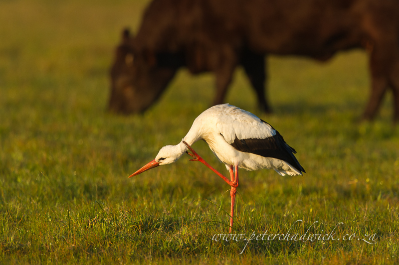scratching white stork by wildlife and conservation photographer Peter Chadwick