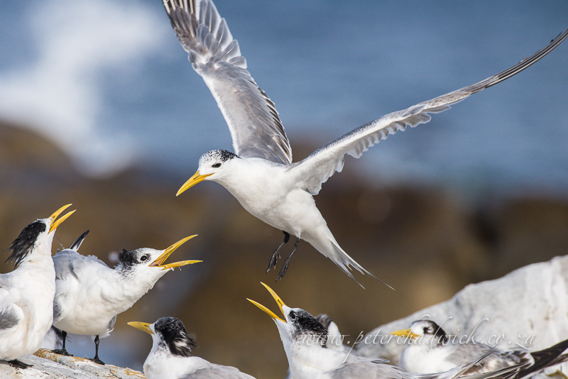 landing swift terns by wildlife and conservation photographer Peter Chadwick