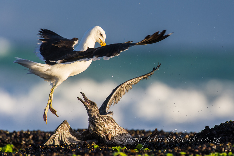 Kelp gull domination by wildlife and conservation photographer Peter Chadwick