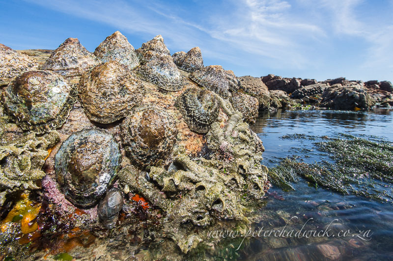 limpets on the rocks by wildlife and conservation photographer Peter Chadwick