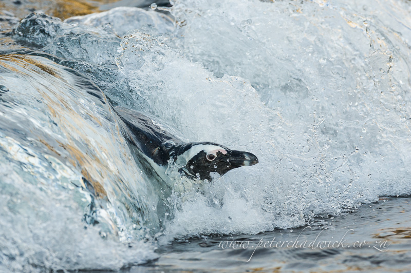 African penguin in breaking wave by wildlife and conservation photographer Peter Chadwick