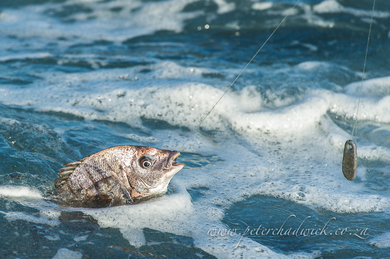 blacktail fish caught on a fishing line by wildlife and conservation photographer Peter Chadwick