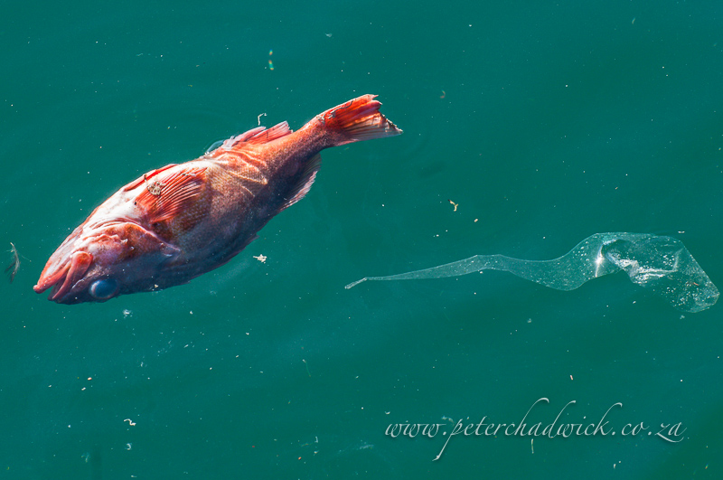 dead fish and plastic by wildlife and conservation photographer Peter Chadwick