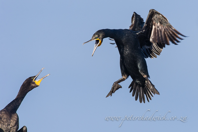 Landing cape cormorant by wildlife and conservation photographer Peter Chadwick